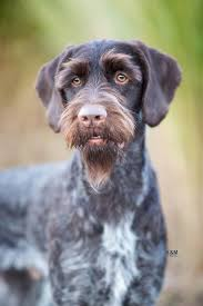 German Wirehaired Pointer Shedding by German Wirehaired Pointer By K U0026m Photo Fci Group 7 Pointers