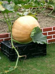 Varieties Of Pie Pumpkins by List Of Gourds And Squashes Wikipedia