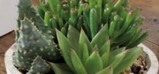 entretien plante grasse d interieur entretien plante grasse d interieur pivoine etc