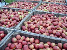 Best Pumpkin Patch Indianapolis by Staymen Winesap Apples Tuttle Orchards Inc Indianapolis Apple