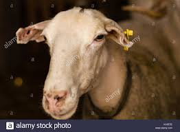 Ewe In Barn Stock Photos & Ewe In Barn Stock Images - Alamy Our Little Girls Nursery Atlanta Georgia Wedding Photographer I Love How Strange And Alien Barn Owls Look They Like Life In Abu Dhabi Sunset The Park Jobis Animal Barn Android Apps On Google Play Green Dragon Ecofarm Twitter Adorable Come Visit Them Merry Christmas From The Network Youtube Fun Day At Mountsberg Cservation Area Raptors Sheep Maple Cotswold Farm Park Facilities Information Animals Outside Stock Vector Image Of Duck 72935686 Have You Seen Reindeer Sky High Artist Dan Colens Painterly Landscape