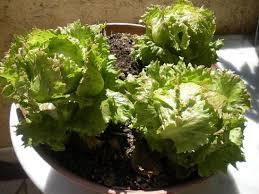 faire pousser des salades en pot sur balcon tuto jardinage