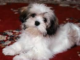 low shedding dog breeds