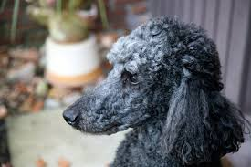 List Of Non Hypoallergenic Dogs by List Of Easy To Take Care Of Hypoallergenic Dogs Dog Care The
