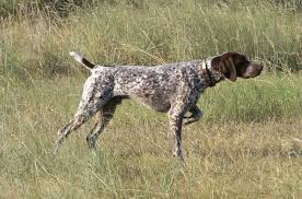 Griffon German Wirehaired Pointer Shedding by 13 Griffon German Wirehaired Pointer Shedding Dog Breeds