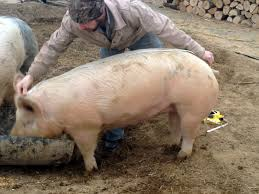 How To Estimate The Weight Of A Live Hog | Reformation, Acre And ... Pin By Pat Wozniak On Pork Pinterest Business Planning Afc Pig Farm Ecomavrovic How To Raise Pastured Pigs Without Buying Feed Httpwww Tammi Jonas Food Ethics Farming Plan Sample Dsc Raising Pros Cons The Prairie Homestead Figueroa Breeding Gguinto Bulacan Youtube Gloucestershire Old Spot Pigs And That Farm There Was To Make Your Own Pig Feed The Organic Farmer Heaven What Makes Free Range Different Downtoearth 54 Best Images Farming Backyard In Nigeria Detail Post Practical Traing Its Time Front Yard Farmer