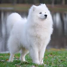 What Kind Of Dogs Shed The Most by The 10 Most Expensive Dog Breeds Beautiful Expensive Dogs And