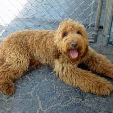 Dogs That Dont Shed Large by Small Mixed Dog Breeds That Don T Shed Breed Dogs Picture