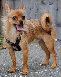 Do Long Haired Chiweenies Shed by 13 Pictures Of Chihuahua Yorkie Mix A K A Chorkie And Breed