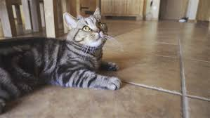 cat in house curious cat walking in house 4k steadicam breed