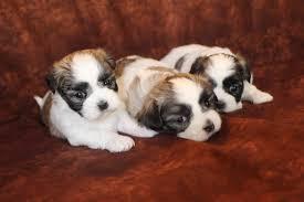 Big Lazy Non Shedding Dogs by Malshi U0026 Malshipoo U2013 Tlc Puppy Love