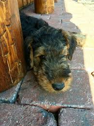 Airedale Terrier Non Shedding by 217 Best My Love For Airedales Images On Pinterest Airedale