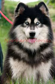 89 best dogs images on pinterest alaskan malamute puppies giant