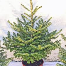 Fraser Christmas Trees Uk by Fraser Fir Christmas Tree Real Xmas Trees