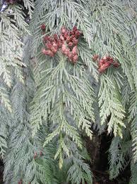 Usda Christmas Tree Permits Colorado by January 2014 Native Plants Pnw