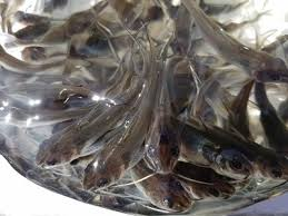 Channel Catfish For Sale