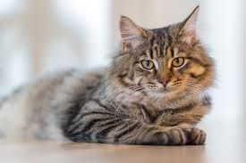 cat hypothyroidism in cats felines with underactive thyroids