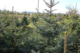 What Christmas Tree Smells The Best by Top 4 Tree Types For Christmas Angie U0027s List