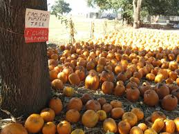 Wheatland Pumpkin Patch by Your Guide To Sacramento Area Pumpkin Patches Roseville Ca Patch