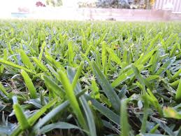 Carpet Grass Florida by Information About St Augustine Grass