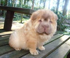 Do Mini Shar Peis Shed by The Age Old Belief That The Wrinkles Of Shar Pei Skin Are A