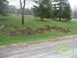 Help, The Raccoons & Skunks Are Tearing Up My Lawn!