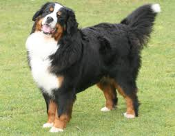 Non Shedding Large Dogs by Bernese Mountain Dog Bunkblog