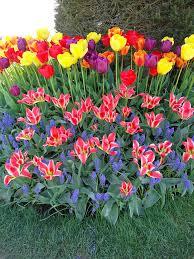 best 25 tulips garden ideas on fleur de house