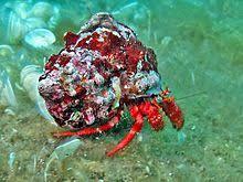Halloween Hermit Crab Lifespan by Dc16d6e167de38c848f75f87a3243815 Jpg