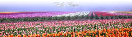 tulip town skagit valley bulb farm inc