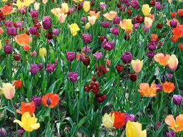 tulip time in michigan with two dutchmen bruno s