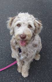 Do Cockapoo Mixes Shed by Best 25 Australian Shepherd Poodle Mix Ideas On Pinterest Toy