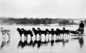 Do Samoyed Huskies Shed by Siberian Husky History U0026 Training Temperament