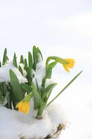 daffodil bulbs in the snow stock photo image of frozen 86076894