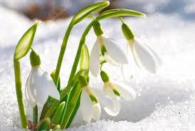 snowdrop flowers â stock photo â dovapi 22890582