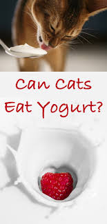 cats and yogurt can cats eat yogurt a cat food safety guide from the happy cat site