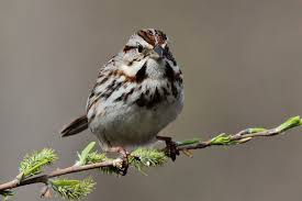 Song Sparrow - Backyard   Backyard & Cape Cod   Pinterest Miley Cyrus The Backyard Sessions Look What Theyve Done To My Music For Special Kids Thanksgiving Song A Busy Lizzie Life May 2011 Band Videos Abhitrickscom Song Birdbath South Pinterest Sparrow From My Backyard In Chester Va Birds Photo 6 Of 7 La Home Exploders Hriikesh Hirway Birding Bird Songs 250 North American By Deck Garden Ideas Double Scribble Pond And Of Cards Deckers Glitzine Dont Throw Your Junk Bkyardteaching Little People Great Big World Say Something Live On The Stage 61