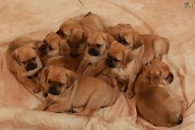 do pugs and puggles shed puggle breed information buying advice photos and facts