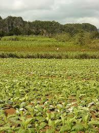 Tobacco Field Vinales Pinar Del Rio Cuba Photo Adam Jones PhD