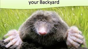 How To Get Rid Of Ground Moles In Backyard - Video Dailymotion How To Get Rid Of Moles Organic Gardening Blog Cat Captures Mole In My Neighbors Backyard Youtube Animal Wikipedia Identify And In The Garden Or Yard Daily Home Renovation Tips Vs The Part 1 Damaging Our Lawn When Are Most Active Dec 2017 Uerstanding Their Behavior Mole Gassing Pests Get Correct Remedy Liftyles Sonic Molechaser Alinum Covers 11250 Sq Ft Model 7900