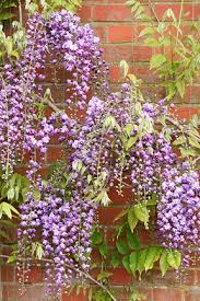 planting wisteria in a pot wisteria rhs gardening