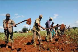 Planting Sugar Cane In Cuba