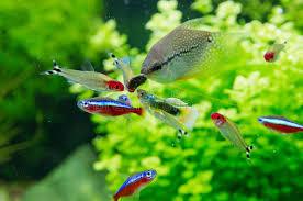 aquarium d eau douce poissons exotiques dans l aquarium d eau douce image stock image