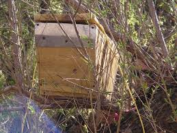 How To: Bait Hive Top Bar Langstroth Beehive By Eco Bee Box Eco Bee Box Modern Hive Journal Help And Advice For Bkeepers How To Bait Grandmabs Notes Epic Top Bar Beehive Swarm Trap Youtube The Easiest Way To Catch A Vlog 90 Apr Bees Haing Off Of My Bkeeping Mn Warre Hive Inspection Post Ant Problem Third Package Success Kit Swarm Trapbait Lure Tri Gable Lea Category Hives Honey Complete