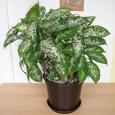 plante de bureau quelles plantes pour le bureau liste ooreka