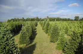 75 Douglas Fir Artificial Christmas Tree by The Delp Christmas Tree Farm Is A Family Affair Kansas Living