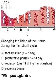 Uterus Lining Shedding Period by Neomenor