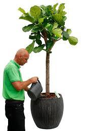 ficus feige pflege 123zimmerpflanzen