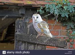 Owl Barn Door Stock Photos & Owl Barn Door Stock Images - Alamy Barn Owl New Zealand Birds Online Audubon California Starr Ranch Live Webcams Barn Red My Pet Pupo The Barn Owl Mouse Youtube Babyowl Explore On Deviantart Adopt An The Wildlife Trusts Wikipedia Owlrodent Research Project Vineyard Owl Lookie My Pet Growing Up Growing Up Album Imgur Made Out Of Wood And Plant Materials I Found At Parents