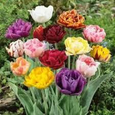 tulip bulbs for sale buy in bulk save botanica flora
